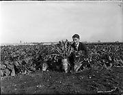 29/10/1959<br /> 10/29/1959<br /> 29 October 1959<br /> Root crops at Albert Agricultural College, Glasnevin, Dublin. Special for Townsend-Flahavan Seeds Ltd., Kilmacthomas, Co. Waterford. Gentleman may be Mr. G. Kiely, B. Agr.Sc., of Townsend - Flahavan.