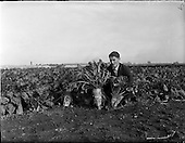 1959 - Root crops at Albert Agricultural College, Glasnevin