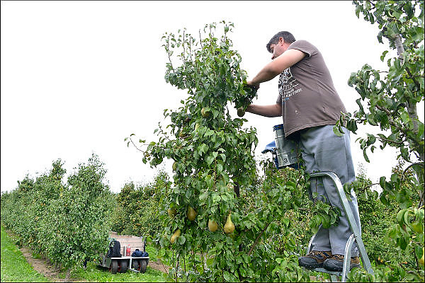 Nederland, Elst, 12-9-2015 Peren worden binnengehaald door Poolse arbeidskrachten, mannen en vrouwen. Dit jaar is de oogst door de hagel van enkele weken geleden voor een groot deel onbruikbaar.Foto: Flip Franssen/HH