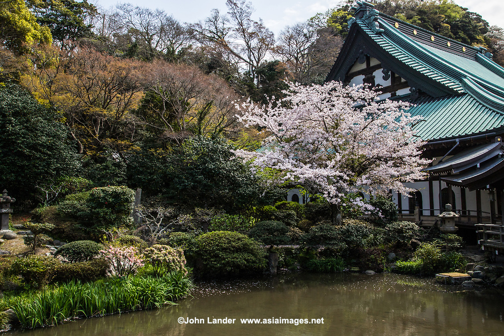 Komyoji Garden Sakura - Komyoji is a popular temple with locals in the Kamakura area for its abundant cherry blossoms in spring, frequent weekend flea markets, and free parking near the beach. Komyoji Garden has a rare example of a dry garden, sometimes called a Zen garden, as this temple is not of the Zen sect of Buddhism.  In addition to the temple's zen dry karesansui garden, on the north side of the temple is the pond garden, which comes to life in spring with sakura cherry trees.