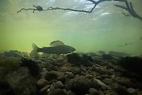 Grayling (Thymallus thymallus) <br /> Ain river, France<br /> Äsche (Thymallus thymallus)<br /> Ain, Frankreich<br /> Ombre (Thymallus thymallus)<br /> Ain, France<br /> 24-06-2009