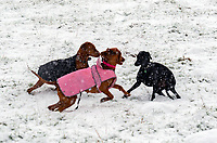 dogs  playing in the first settled snow in stratford upon Avon in 3 years photo by mark anton smith 24th jan 2021