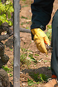 In the vineyard Le Pavillon of M Chapoutier on the Hermitage hill, sandy and pebbly soil. A vineyard worker with a secateur in the hand for spring pruning.  Domaine M Chapoutier, Tain l'Hermitage, Drome Drôme, France Europe