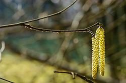 Hazelaar, Corylus avellana