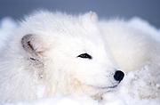 Arctic Fox, Alopex lagopus, Minnesota, in snowy landscape