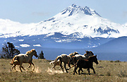 Wild horses dash on the high desert on the Warm Springs Reservation below Mount Jefferson's peak that reaches 10,497 feet. (Alan Berner / The Seattle Times)