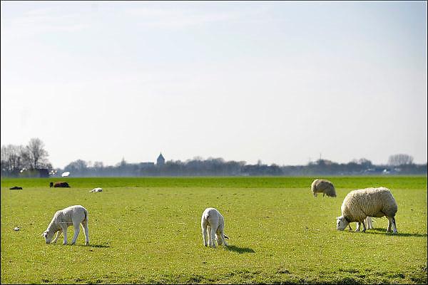 Nederland, Groningen, 15-4-2015Lente in de provincie Groningen. Schapen en lammetjes, lammeren, grazen op de groene weilanden rond LoppersumFOTO: FLIP FRANSSEN/ HOLLANDSE HOOGTE
