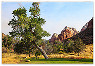 A tree leaning over in a picnic grove at Zion National Park, Utah, USA