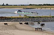 Neederland, Nijmegen, 28-7-2018Door de aanhoudende droogte hebben mens en natuur het moeilijk . Doordat regenval uitblijft worden de waterbuffers kleiner en moet het waterpeil van o.a. het IJsselmeer verhoogd worden om aan de vraag, behoefte te voldoen . Waterstand in de Waal is laag, maar kan nog bevaren worden . Wilde konikpaarden en gallowayrunderen zoeken het water op .Foto: Flip Franssen