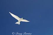 white tern or fairy tern, Gygis alba, Christmas Island ( Kiritimati ), Republic of Kiribati, northern Line Islands, equatorial Central Pacific Ocean