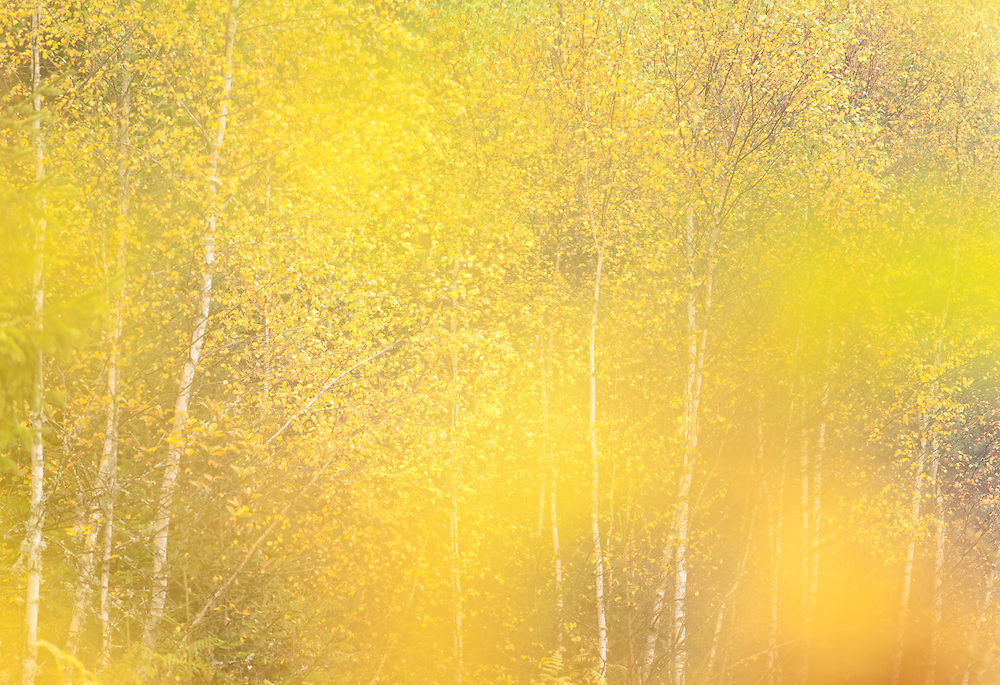 yellow leaves and birk trees, auvergne, France