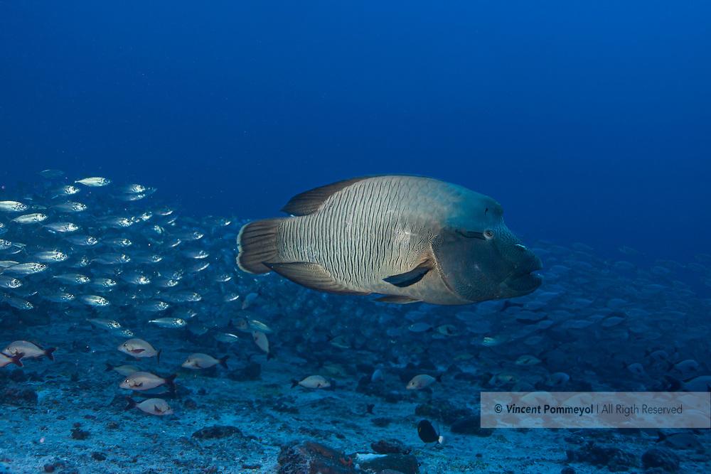 Humphead wrasse-Napoleon (Ceilings undulates), Rangiroa atoll, French Polynesia.