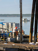 Selling the daily haul of lobster at Ripley Cove, Maine, USA.