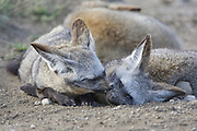 Bat-eared fox<br /> Otocyon megalotis<br /> Grooming each other<br /> Ngorongoro Conservation Area, Tanzania