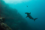 Scalloped Hammerhead (Sphyma lewini) off of Darwin Island<br /> north Galapagos Archepelago. ECUADOR.  South America<br /> In the northern Galapagos islands of Darwin and Wolf these hammerheads form large schools of up to several hundred individuals