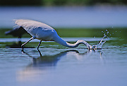 Great Egret plunges down into the swamp to catch fish - Mississippi