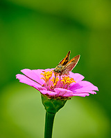 Peck's Skipper (?) Butterfly on a Zinnia Flower. Image taken with a Fuji X-T2 camera and 100-400 mm OIS lens