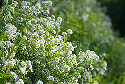 Common Scurvy Grass. Cochlearia officinalis