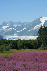Alaska, Juneau: Mendenhall Glacier at Juneau.  Fireweed wildflowers.  .Photo #: alaska10154 .Photo copyright Lee Foster, 510/549-2202, lee@fostertravel.com, www.fostertravel.com..