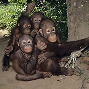 Orangutan, (Pongo pygmaeus) Juveniles in nursery at Sepilok Forest Rehabilitation Center. Borneo. Malaysia. Controlled Conditons.