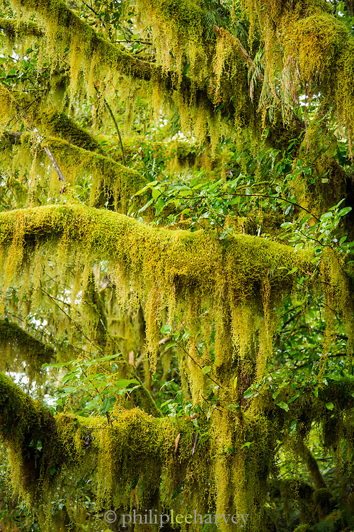 Landscape with lush foliage and moss on trees along Routeburn Track between Lake Mackenzie to Divide Shelter, South Island, New Zealand