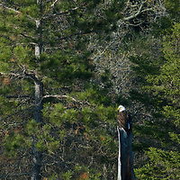 A bald eagle perches atop a pine stump beside Lake of the Woods, Ontario, Canada.