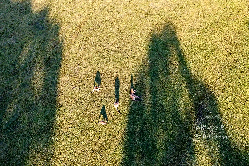 Aerial view of Eastern Gray Kangaroos grazing in a green grass field, Sunshine Coast, Queensland, Australia