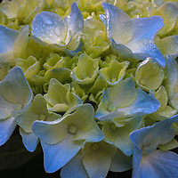 Flower photography of a beautiful blue blooming hydrangea photographed in Natick, MA. <br /> Hydrangea flowers photos are available as museum quality photography prints, canvas prints, acrylic prints or metal prints. Flower fine art prints may be framed and matted to the individual liking and decorating needs.<br /> <br /> https://juergen-roth.pixels.com/featured/hydrangeas-flowers-juergen-roth.html<br /> <br /> All hydrangea floral photo images are available for digital and print use at www.RothGalleries.com. Please contact me direct with any questions or request. <br /> <br /> Good light and happy photo making!<br /> <br /> My best,<br /> <br /> Juergen<br /> Image Licensing: http://www.RothGalleries.com <br /> Fine Art Prints: http://juergen-roth.pixels.com<br /> Photo Blog: http://whereintheworldisjuergen.blogspot.com<br /> Twitter: https://twitter.com/naturefineart<br /> Facebook: https://www.facebook.com/naturefineart <br /> Instagram: https://www.instagram.com/rothgalleries