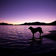 Carson the Golden Retriever at Loon Lake, CA looking for LOONS or a tennis ball