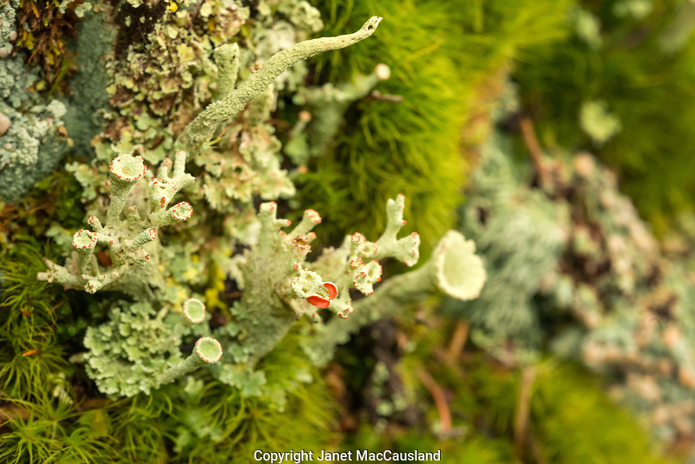 """The British Soldier lichen is a collection of the fungus Cladonia cristatella and the algae Trebouxia erici. Similar to the symbiotic relationship between Coral and Algae, the fungus holds the algae and the algae nourishes the fungus. The red coating is what prompted the name """"British Soldier"""" after the Red Coats they sported during colonial days."""