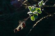wild sage. Three-Lobed Sage, Salvia fruticosa photographed at Sataf, Israel
