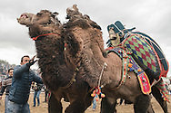 TURKEY, Izmir, Selçuk.   Competing camels wrestle during the 35th Selçuk Camel Wrestling Festival. Camel trainers and owners stand close to the camels to ensure the wrestling doesn't get too violent.