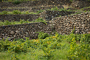 Stone walls and vineyard at Donnafugata's Pantelleria winery, Sicily, Italy.