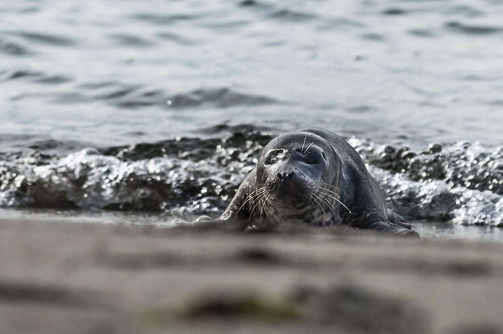 Harbor seal (Phoca vitulina) on beach, October, Pacific Coast, Washington, USA.