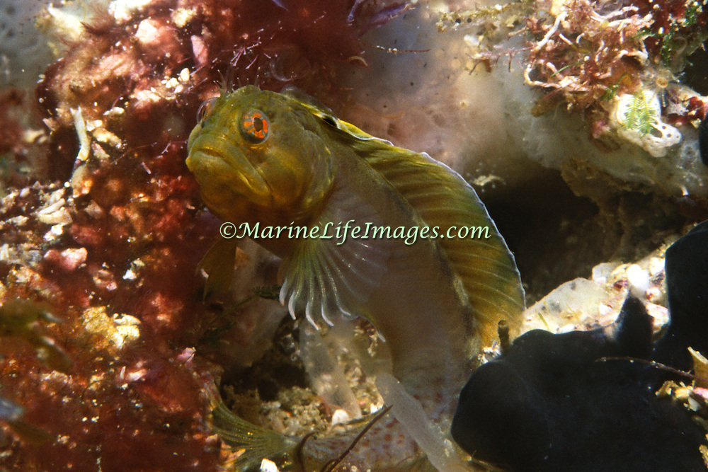 Chameleon Blenny inhabit holes in shallow reefs; often extending head and forebody known only from Margareta Islands and associated islets, Venezuela; picture taken Margareta Is, Venezuela.