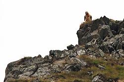 23.08.2010, Dorfertal, Kals, AUT, NPHT, Wiederansiedelung von Bartgeiern in der Nationalparkregion Hohe Tauern. Die Wiederansiedelung des Bartgeier ist ein Gemeinschaftsprojekt des Nationalparks Hohe Tauern, der Veterinärmedizinischen Universität Wien, der Zoologischen Gesellschaft Frankfurt und des Vereines Eulen und Greifvogelschutz Österreich. Es wird durch die Vulture Converservation Foundation unterstützt und durch das Programm der Ländlichen Entwicklung der Europäischen Union gefördert. Hier im Bild ein ausgewachsener Bartgeier der in den Sommermonaten 2010 im Kalser Dorfertal Station machte. EXPA Pictures © 2010, PhotoCredit: EXPA/ J. Groder