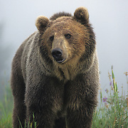 Grizzly Bear in fog in Montana. Captive Animal