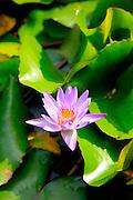 Water Lily, Garden of Eden, botanical garden, Hana Coast,