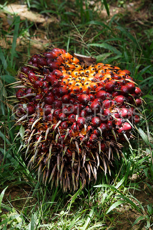 A freshly cut bunch of palm fruit lies in the grass on a small family plot in Beluran District, Sabah, Malaysia, on 10 September 2016. Smallholders account for 40% of global palm oil production, and as such play an important role in increasing sustainability within the industry. This family plot has been able to increase yields since becoming part of the Wild Asia Group scheme, which works with the Roundtable on Sustainable Palm Oil to support Malaysian smallholders to become certified sustainable. This includes improving farm management, reducing their use of pesticides and fertilizers, and increasing yields.