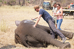 Undated picture released by Kensington Palace of Prince Harry while he worked in Malawi with African Parks as part of an initiative involvoing moving 500 elephants over 350 kilometers across Malawi from Liwonde National Park and Majete Wildlife Reserve to Nkhotakota Wildlife Reserve.