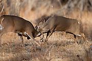 Whitetail deer (Odocoileus virginianus) bucks fighting during autumn rut