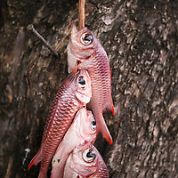 Fare, Huahine, French Polynesia, red fish at open market
