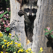 Raccoon (Procyon lotor) in a hollow log during the summer in Montana. Captive Animal