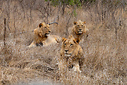 Three young male lions (Panthera leo) in Kruger NP, South Africa.