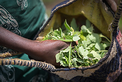 4 June 2019, Meiganga, Cameroon: Sali Farimatou Bouda shows a basket full of 'Bolo leaf' (Sesame) which she has picked to add flavour as she cooks meat and fish. Farimatou is one of a group of CAR refugees trained by the Lutheran World Federation in modern farming techniques. By keeping a strict ratio of how many seeds to sow per hectare, and by sowing Cassava and Groundnut together, they are able to both increase harvests and retain soil fertility over a longer time. Supported by the Lutheran World Federation, the Ngam refugee camp, located in the Meiganga municipality, Adamaoua region of Cameroon, hosts 7,228 refugees from the Central African Republic, across 2,088 households.