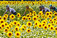 Geraint Thomas (GBR - Team Sky) yellow jersey, sunflowers during the 105th Tour de France 2018, Stage 18, Trie sur Baise - Pau (172 km) on July 26th, 2018 - Photo Luca Bettini / BettiniPhoto / ProSportsImages / DPPI
