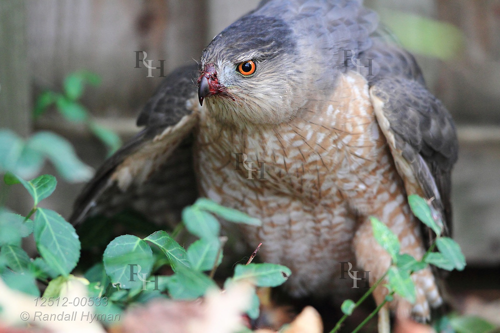 Cooper's hawk (Accipiter cooperii) eats squirrel in Kirkwood, Missouri.