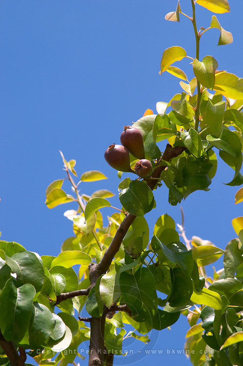 Pears on a branch on a pear tree with leaves against a blue sky Champagne Francois Seconde, Sillery Grand Cru, Montagne de Reims, Champagne, Marne, Ardennes, France