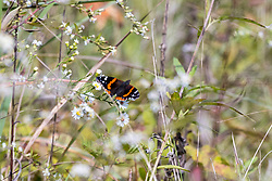 Red Admiral butterfly (Vanessa atalanta)  has a distribution that covers North and South America, Europe, and Asia. Red Admirals use members of the nettles family as their host plants.  The Red Admiral is the most popular butterfly sighted in urban landscapes.