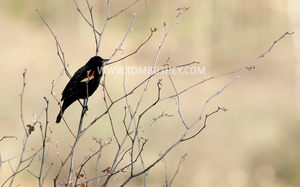 Mamakating, New York - A red-winged blackbird on a branch at the Bashakill Wildlife Management Area on April 11, 2010.